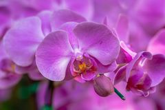 Orchid flower in orchid garden at winter or spring day for beauty and agriculture concept design. Phalaenopsis Orchidaceae.  stock image