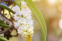 Orchid flower in the garden at winter or spring day. Royalty Free Stock Photography