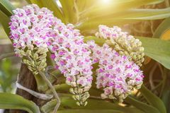 Orchid flower in the garden at winter or spring day. Royalty Free Stock Photo