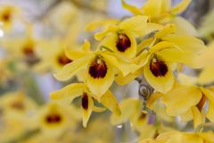Orchid flower in orchid garden at winter or spring day for postcard beauty and agriculture idea concept design.  royalty free stock images