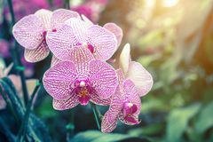Orchid flower in the garden at winter or spring day. Stock Photography