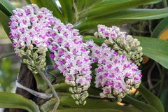 Orchid flower in the garden at winter or spring day. Stock Photo