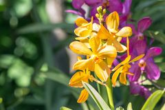 Orchid flower in the garden at winter or spring day. Stock Images
