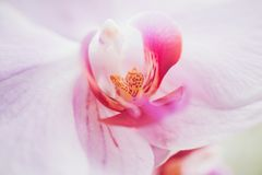 Orchid flower in garden at winter or spring day for postcard beauty and agriculture idea concept design. Phalaenopsis Orchid stock photo