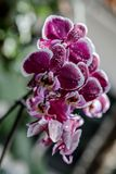 Orchid flower in garden at winter or spring day for postcard beauty and agriculture idea concept design. Phalaenopsis orchid. Orchid flower in the garden on a stock photo