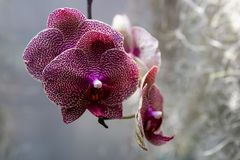 Orchid flower in garden at winter or spring day for postcard beauty and agriculture idea concept design. Phalaenopsis orchid. Orchid flower in the garden on a stock photos