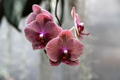 Orchid flower in garden at winter or spring day for postcard beauty and agriculture idea concept design. Phalaenopsis orchid. Orchid flower in the garden on a royalty free stock photo