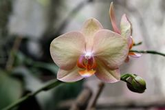 Orchid flower in garden at winter or spring day for postcard beauty and agriculture idea concept design. Phalaenopsis orchid. Orchid flower in the garden on a royalty free stock images