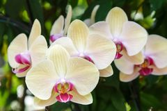 Orchid flower in orchid garden at winter or spring day. Orchid flower in orchid garden at winter or spring day for postcard beauty and agriculture idea concept Stock Photos