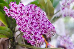 Orchid flower in orchid garden at winter or spring day for postcard beauty concept design. Rhynchostylis Orchidaceae. Orchid flower in orchid garden at winter stock photos