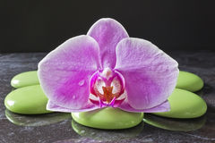 Orchid flower. On green pebbles Stock Photography