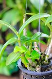 Orchid flower in hanging pot on a plant nursery stock image
