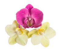 Orchid flower head on white background. Pink and yellow blossoms Stock Images