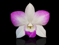 Orchid flower isolate on black Royalty Free Stock Photo