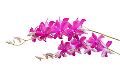 Orchid flower isolate on white Stock Photos