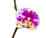 Orchid flower isolated Royalty Free Stock Photo