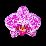Orchid flower isolated in black background Royalty Free Stock Photo