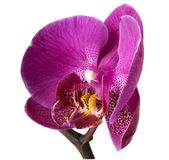 Orchid flower, isolated, clipping path available. Single orchid flower, isolated, clipping path available Stock Images