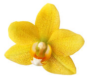 Orchid Flower Isolated. Real flower isolated from background royalty free stock photography