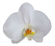 Orchid Flower Isolated stock photo
