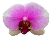 Orchid Flower Isolated. Real flower isolated from background stock images