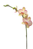Orchid flower, isolated on white Royalty Free Stock Photo