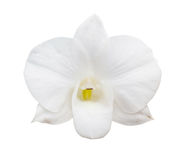 Orchid flower isolated Stock Image