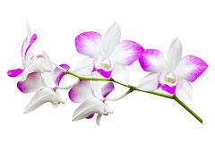 Orchid flower isolated Stock Images