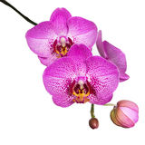 Orchid flower isolated on white background Royalty Free Stock Photography