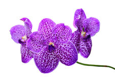 Orchid Flower isolated on white background. Stock Images