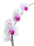 Orchid flower isolated white Stock Photography