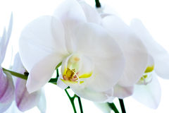 Orchid Flower Macro Royalty Free Stock Images