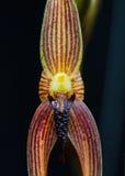 Orchid flower macro. Bulbophyllum vanvuurenii flower close up Royalty Free Stock Photography