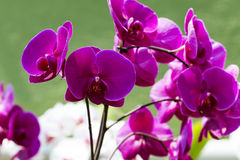 Orchid Flower - Magenta. Magenta orchid flowers over a green background stock photo