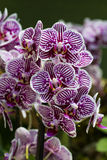 Orchid Flower, Magenta-Pattern Stock Photo