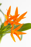 Orchid flower. Orange orchid flowers on a white background Royalty Free Stock Photography