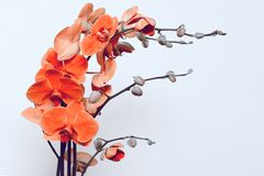 Orchid flower in orange pink colors Royalty Free Stock Photography