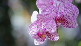 Orchid flower in orchid garden at winter or spring day. Phalaenopsis Orchid or Moth Orchid. stock video