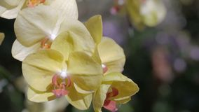 Orchid flower in orchid garden at winter or spring day. Phalaenopsis Orchid or Moth Orchid. stock footage