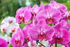 Orchid flower in orchid garden at winter or spring day for postcard beauty and agriculture idea concept design. Orchid flower in orchid garden at winter or Royalty Free Stock Photo