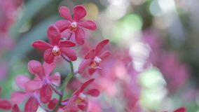 Orchid flower in orchid garden at winter or spring day for postcard beauty and agriculture idea concept design. Mokara Orchid stock video footage