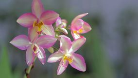 Orchid flower in orchid garden at winter or spring day for postcard beauty and agriculture idea concept design stock video