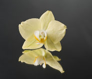 Orchid flower over black Royalty Free Stock Image