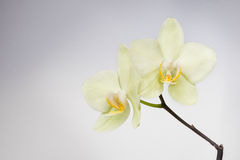 Orchid flower over soft grey background Stock Photo