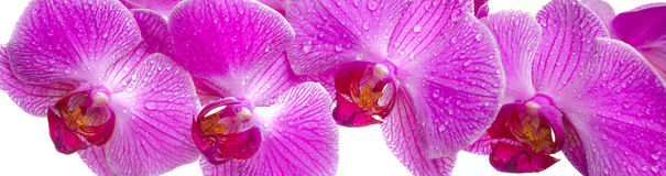 Orchid flower. Panorama view over pink orchid flowers Royalty Free Stock Photo