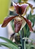 Orchid flower paphiopedilum insigne stock image