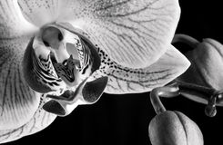 Orchid Flower phalaenopsis stock images