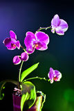 Orchid flower (phalaenopsis ambiance) view Stock Images