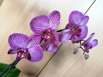 Orchid flower. Picture of orchid purple white flower stock images