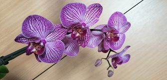 Orchid flower. Picture of orchid purple white flower stock photo